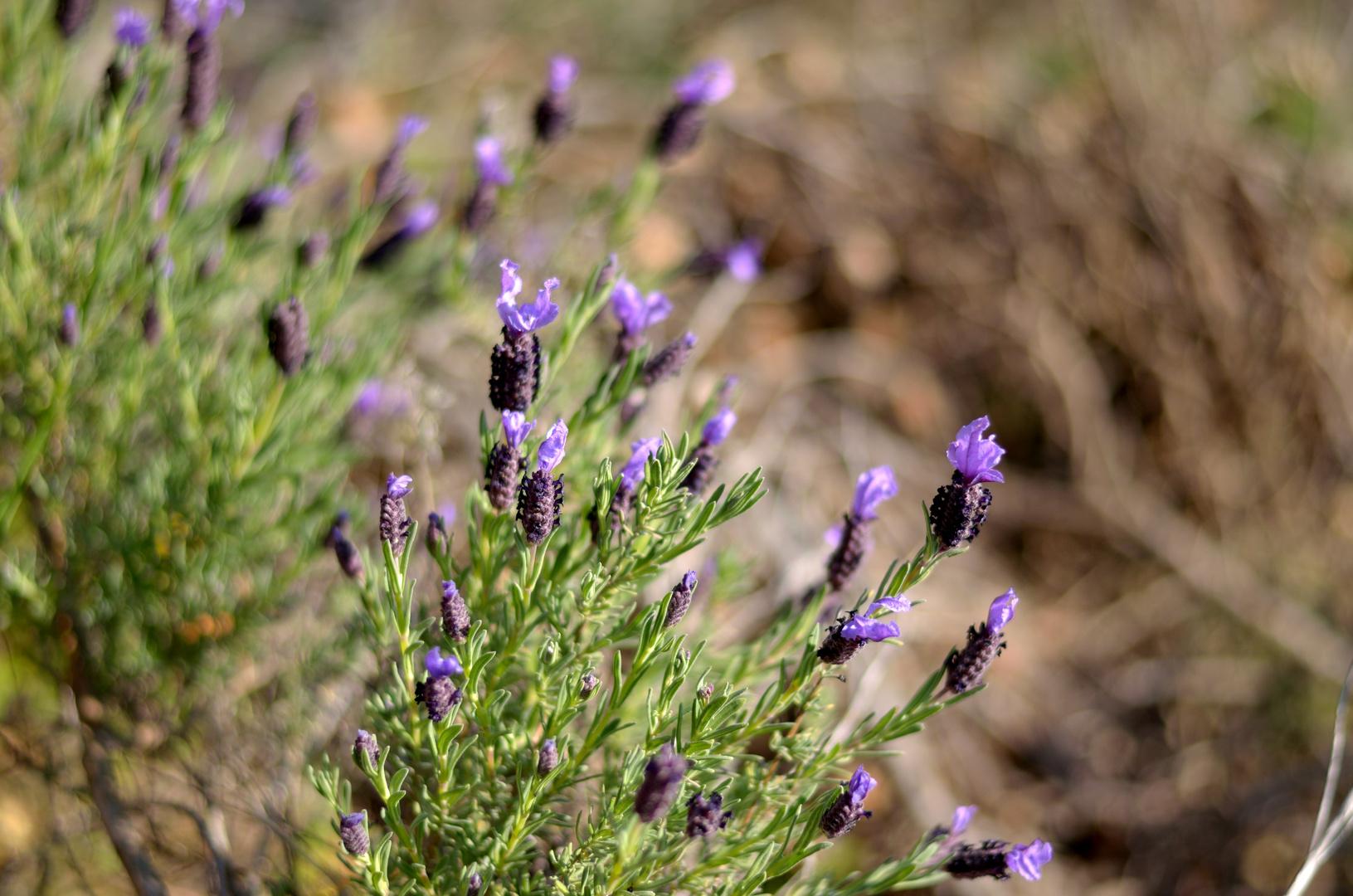 wilder lavendel auf sardinien