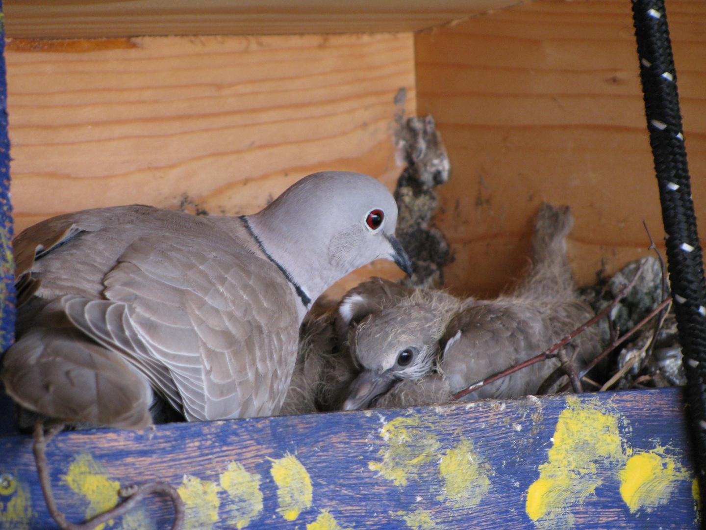 wilder Taubennachwuchs