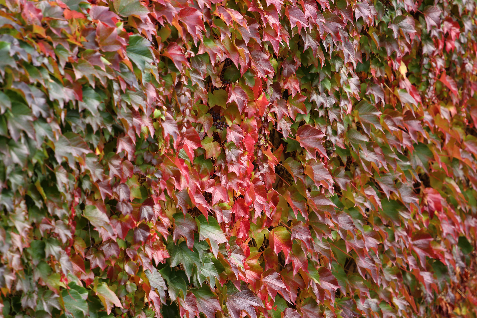 Wilder Wein im Herbst