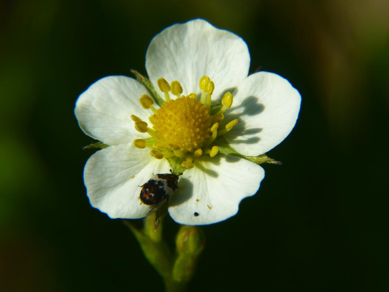 Wilderdbeer-blüte hat Besuch