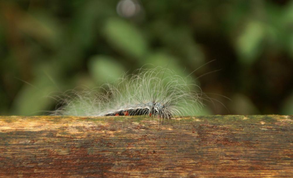 Wildes giftiges Insekt