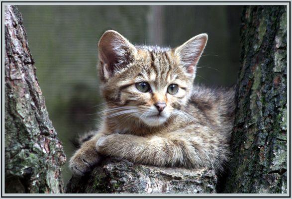 wildes Kätzchen
