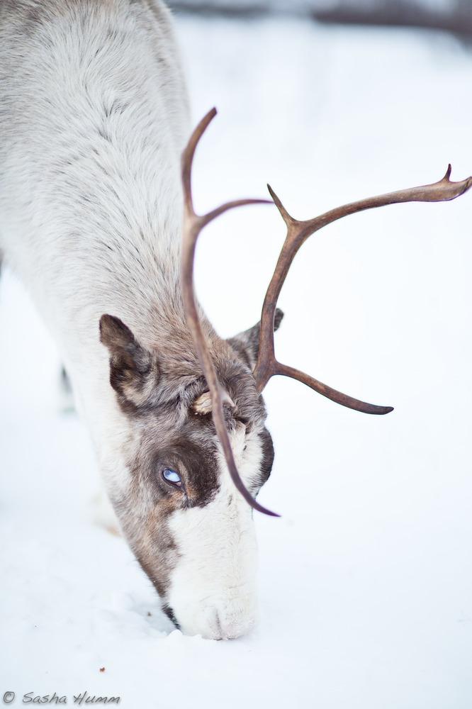 'wildes' Rentier in der Gegend von Tromsø in Norwegen