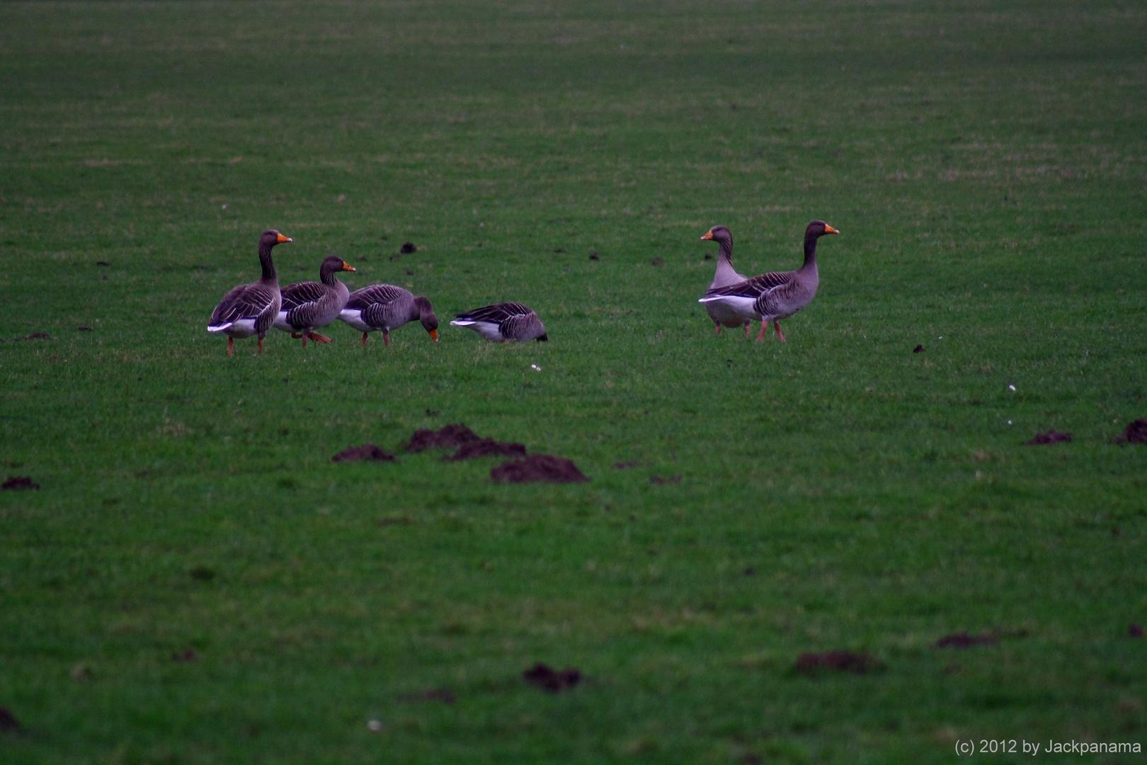 Wildgänse bei einer Rast am Flugplatz Römerwardt in Wesel