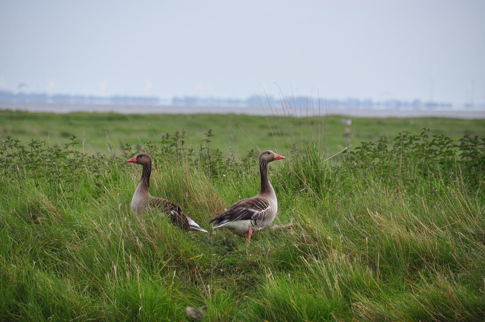 Wildgänse, Insel Langeoog