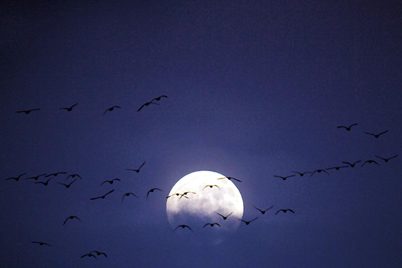 Wildgänse Niederrhein - Mondaufgang - Magische Momente