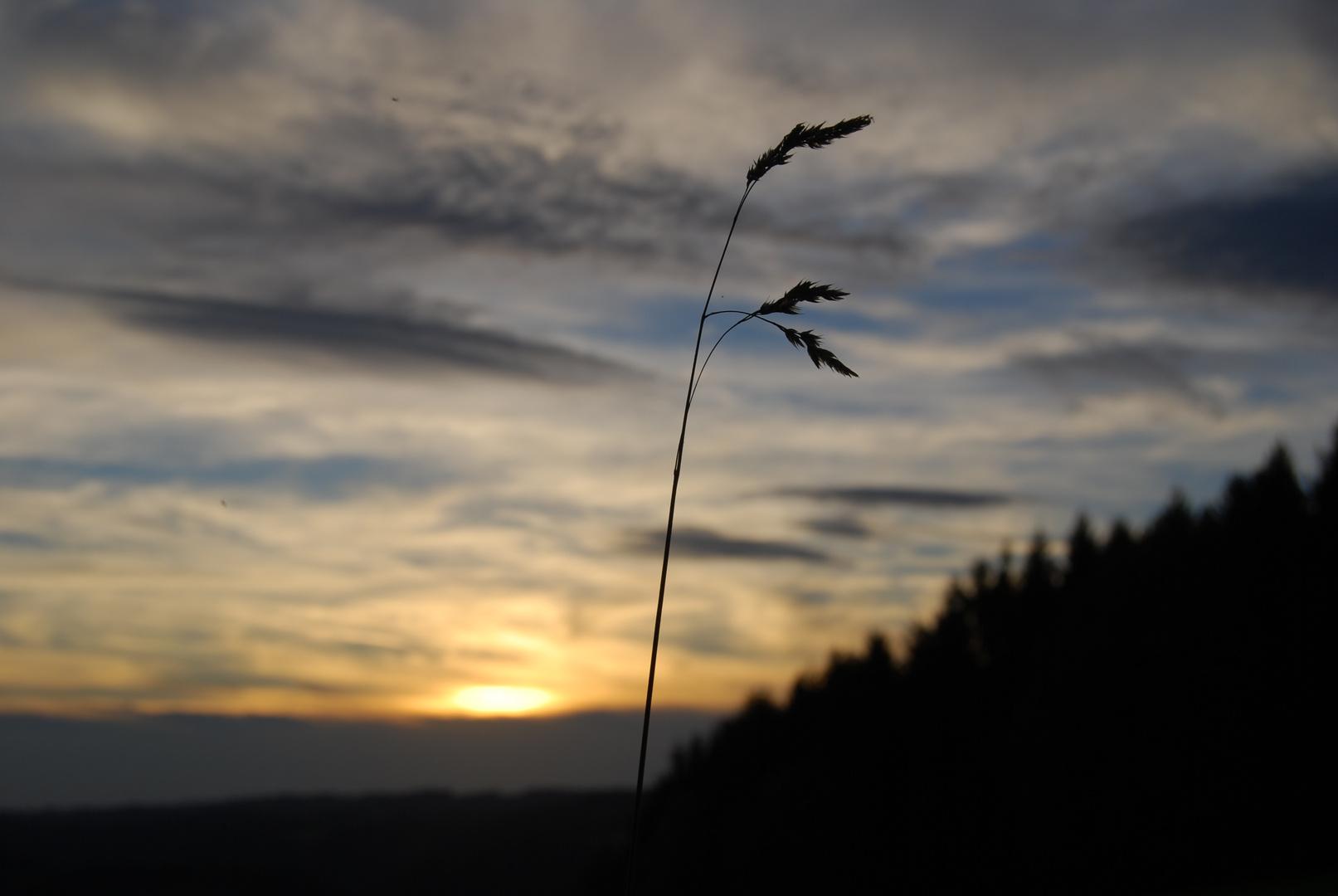 Wildgrashalm mit Sonnenuntergang im Hintergrund