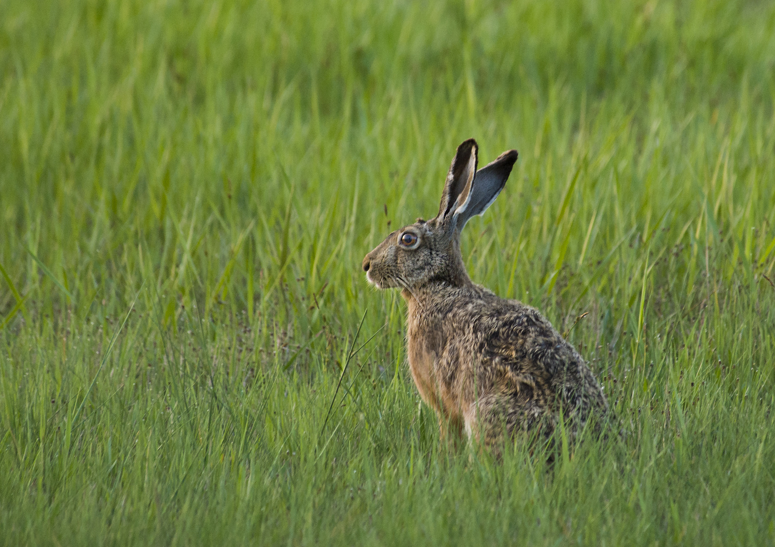 Wildhase 2