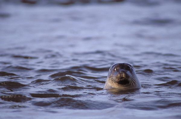 Wildhund im Wasser