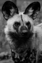 Wildhund in Schwarz/Weiß