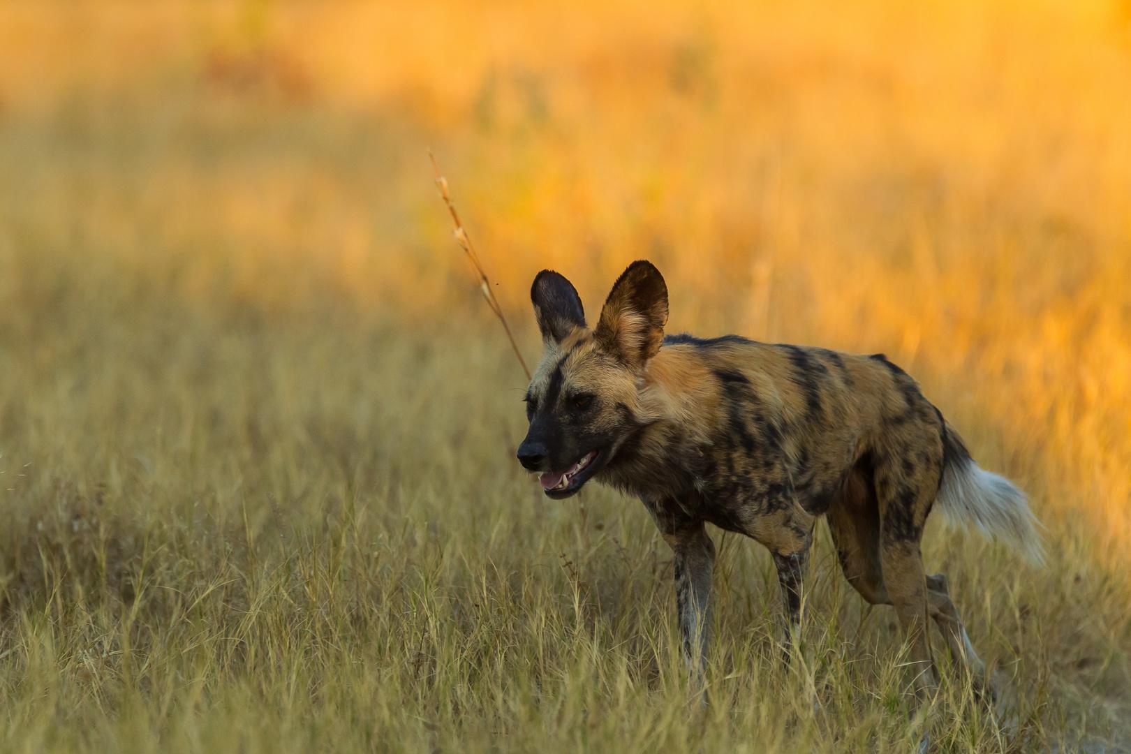 Wildhund - Wild Dog - Khwai-Region, Botswana