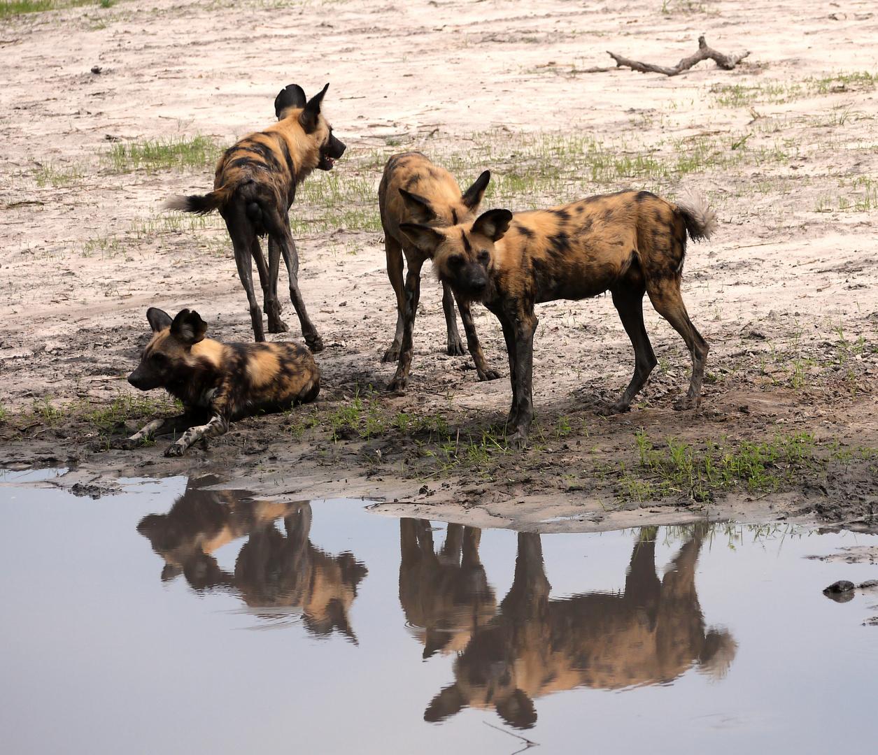 Wildhunde am Wasser