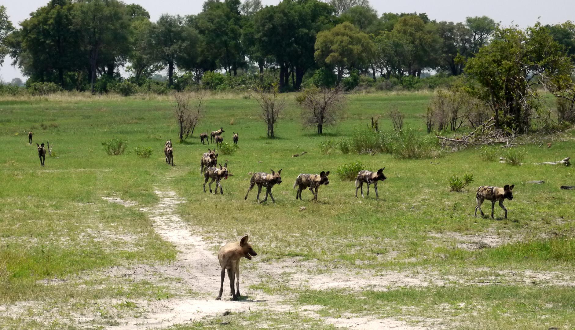 Wildhunde im Delta