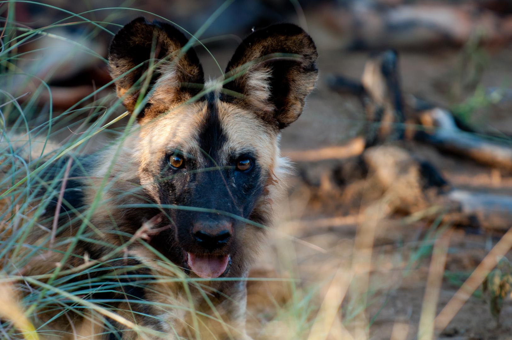 Wildhunde - wilddogs