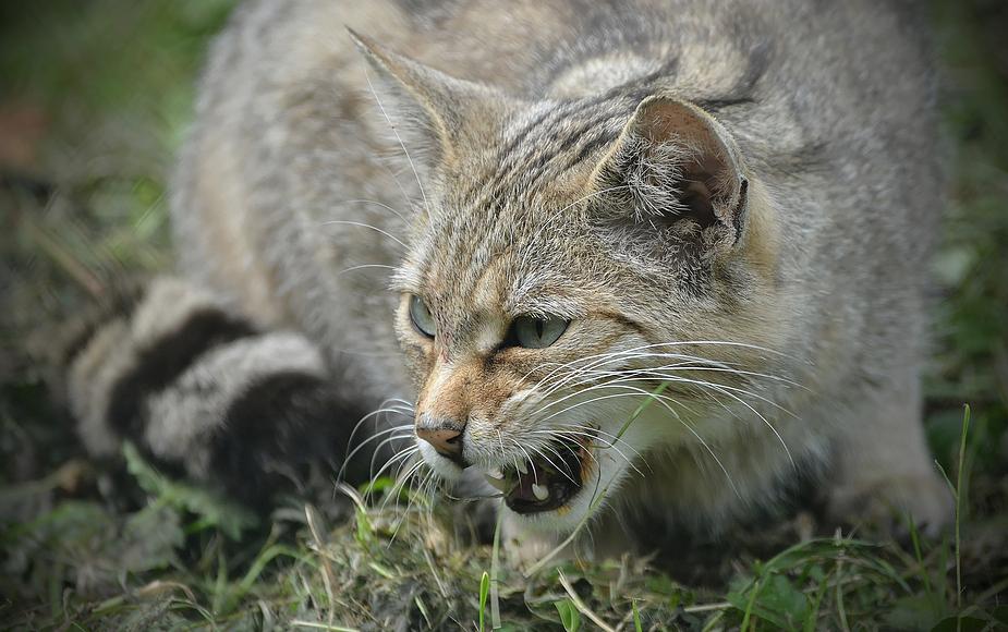 Wildkatze auf der Jagd