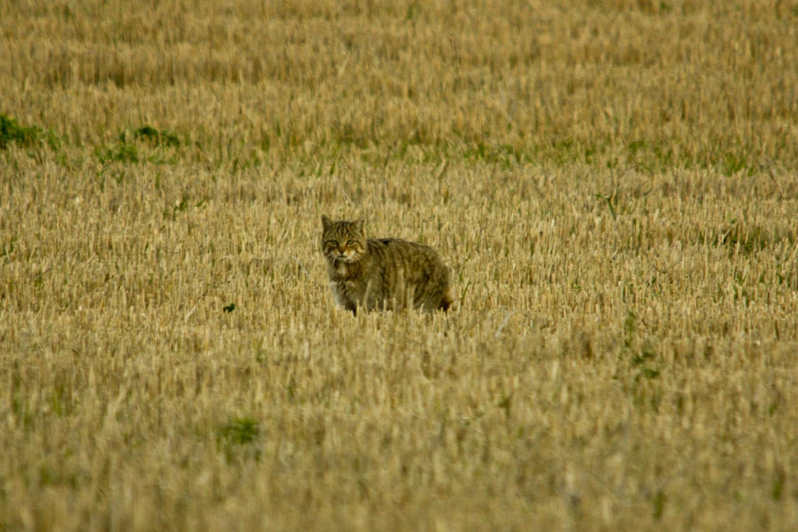 Wildkatze auf Futtersuche