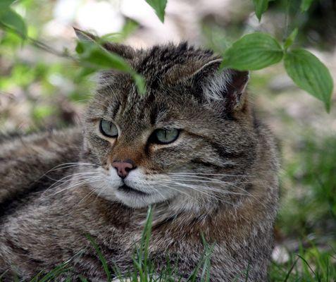 Wildkatze (Felis silvestris), Tierpark Lange Erlen, Basel - Schweiz