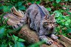 Wildkatze im bayr. Wald