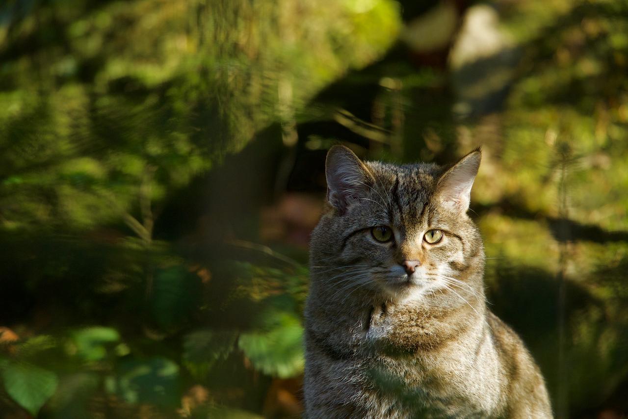 Wildkatze im Nationalpark Bay.Wald