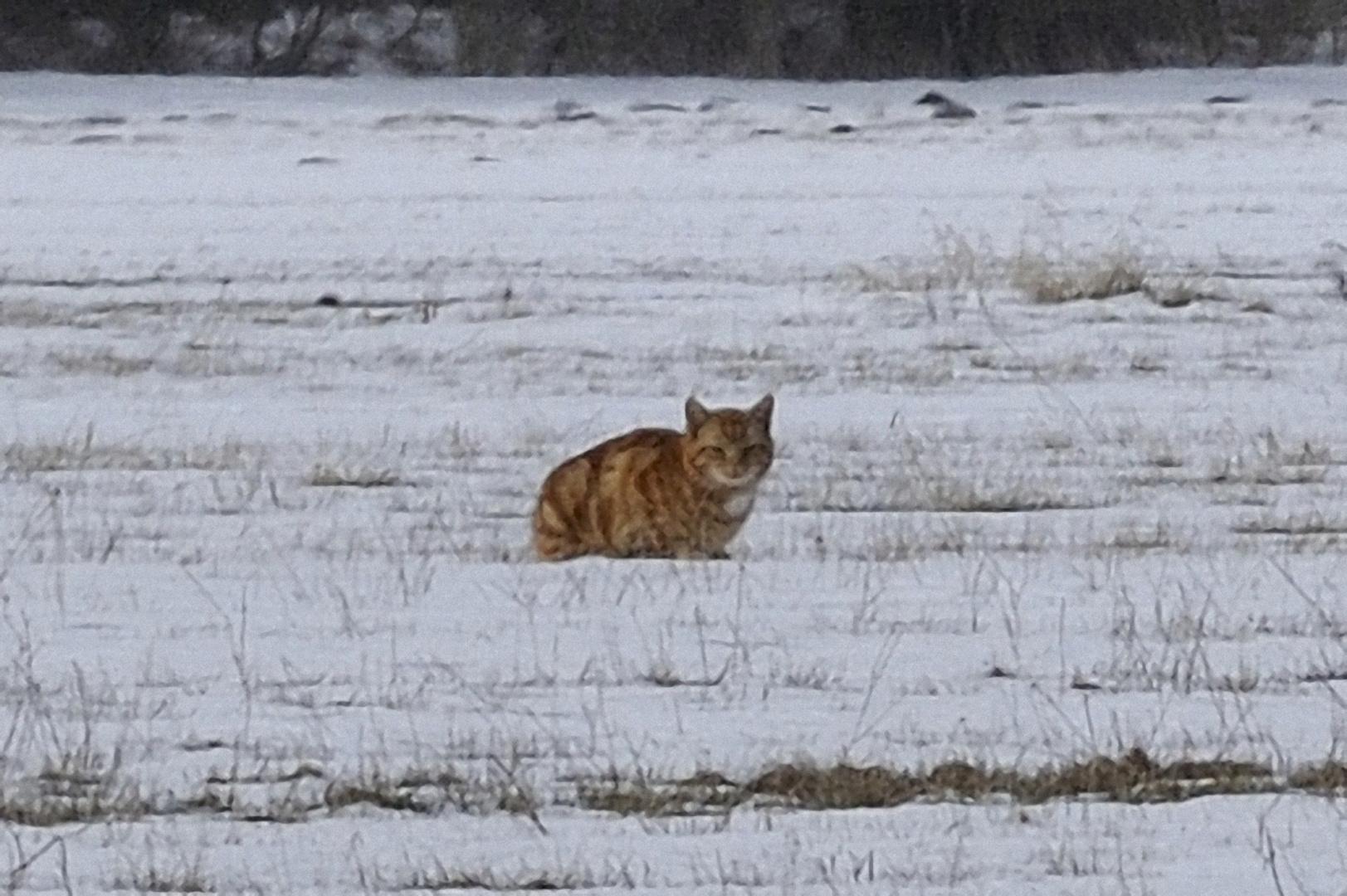 Wildkatze in der Lewitz