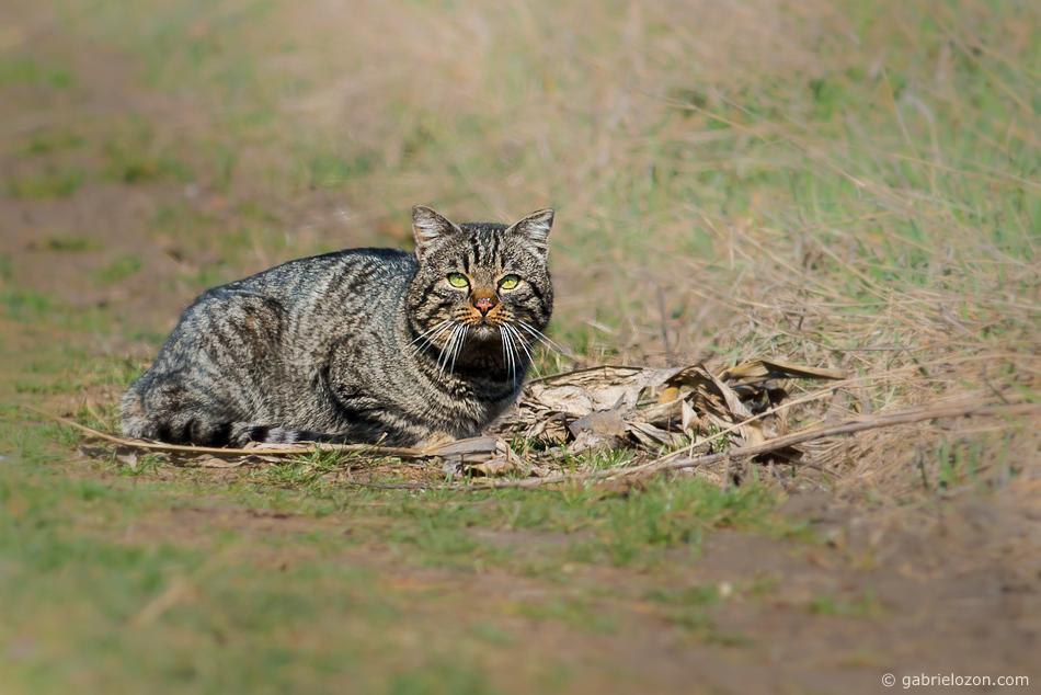 Wildkatze in freier Wildbahn
