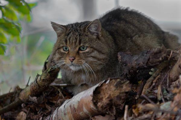 Wildkatze Kater Mikesch