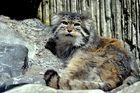 Wildkatze (Manule)