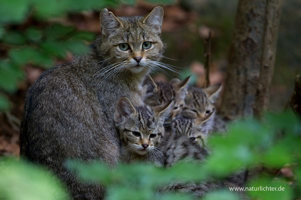 Wildkatze mit Jungen