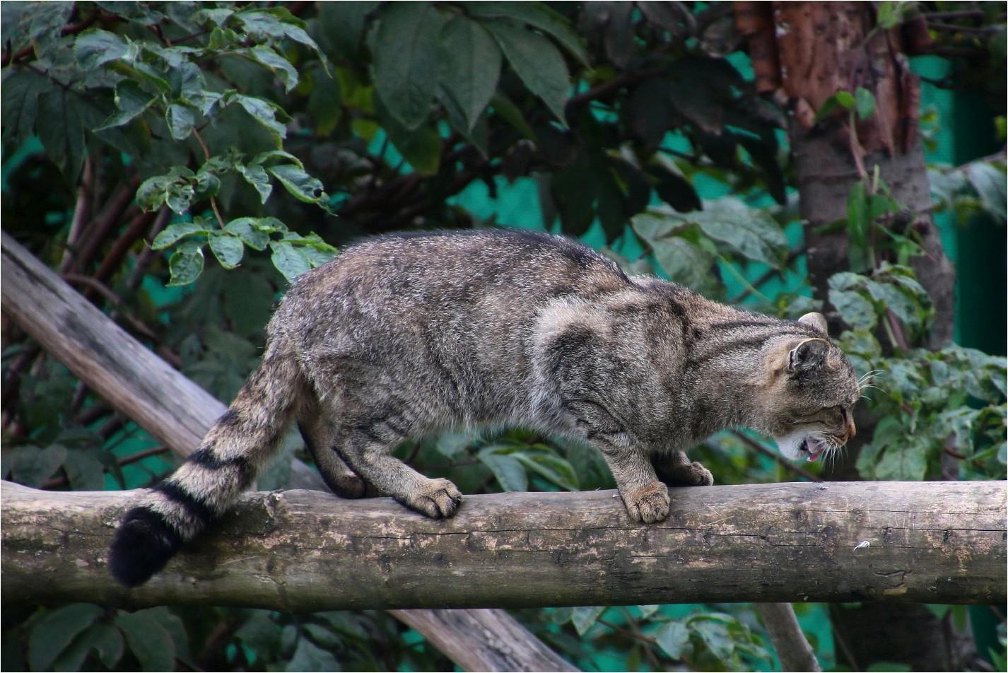 Wildkatzen (2)
