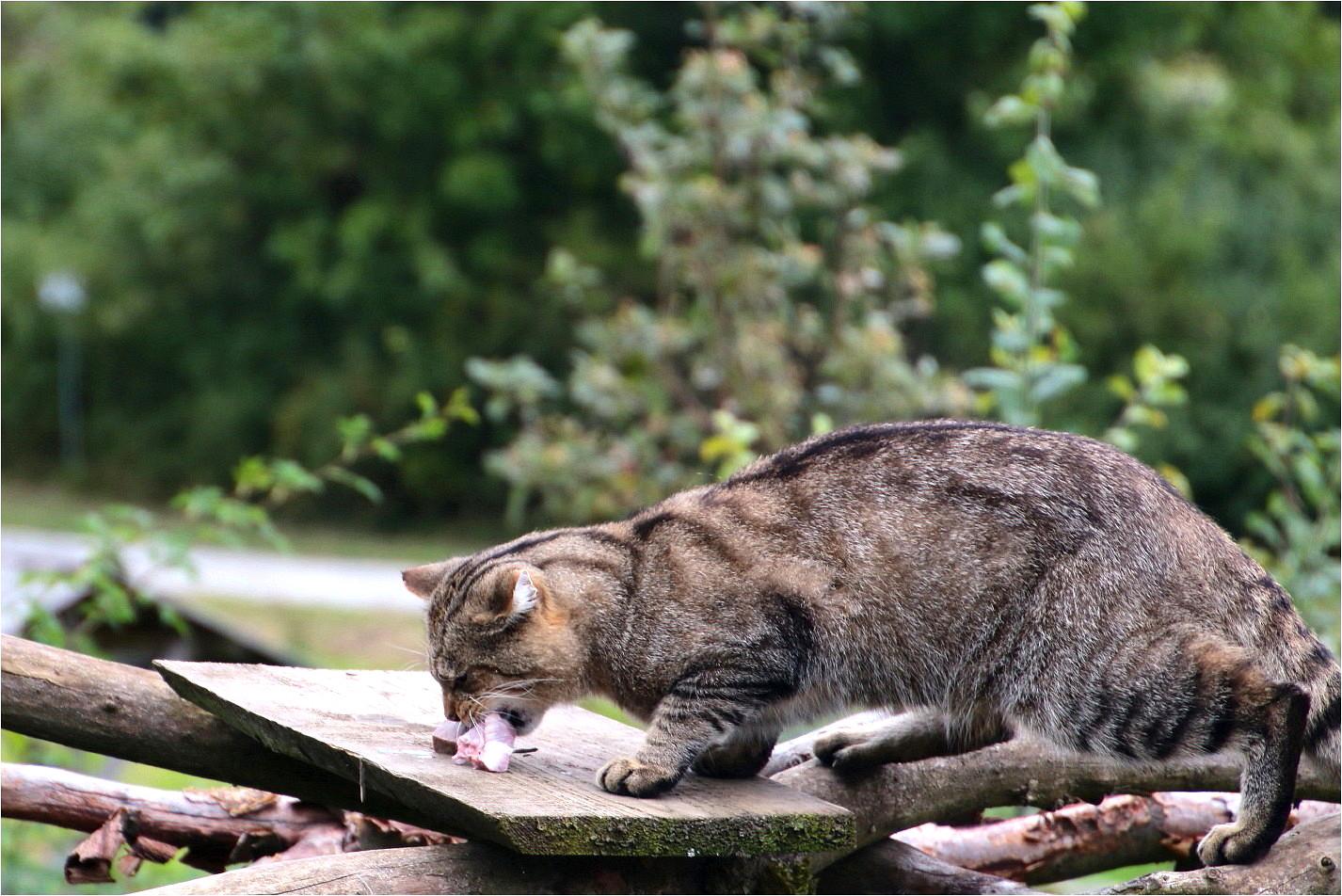 Wildkatzen (3)