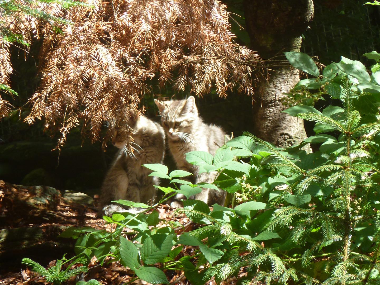 wildkatzen im bayerischen wald
