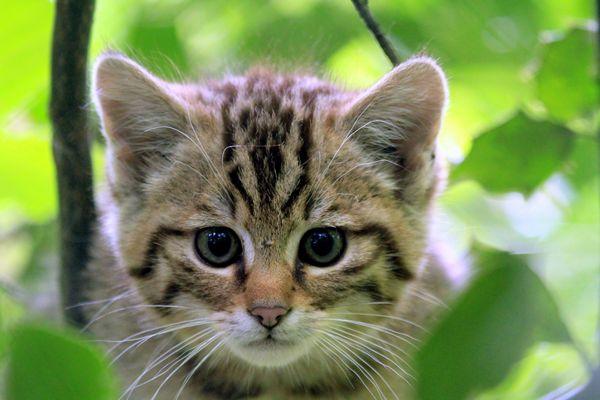 Wildkatzen Junges ..