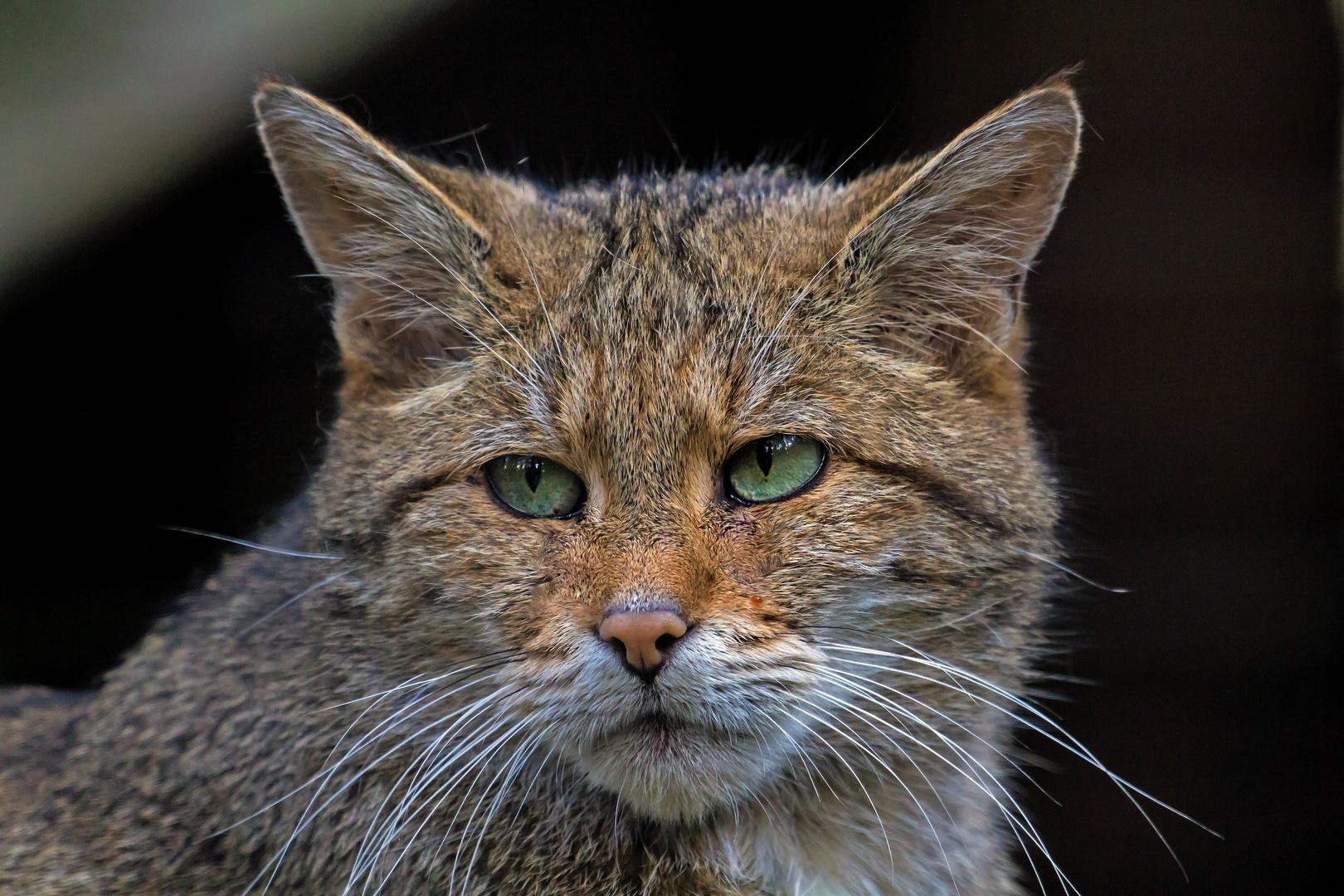 wildkatzen...neuankömmling im wildpark lüneburger heide