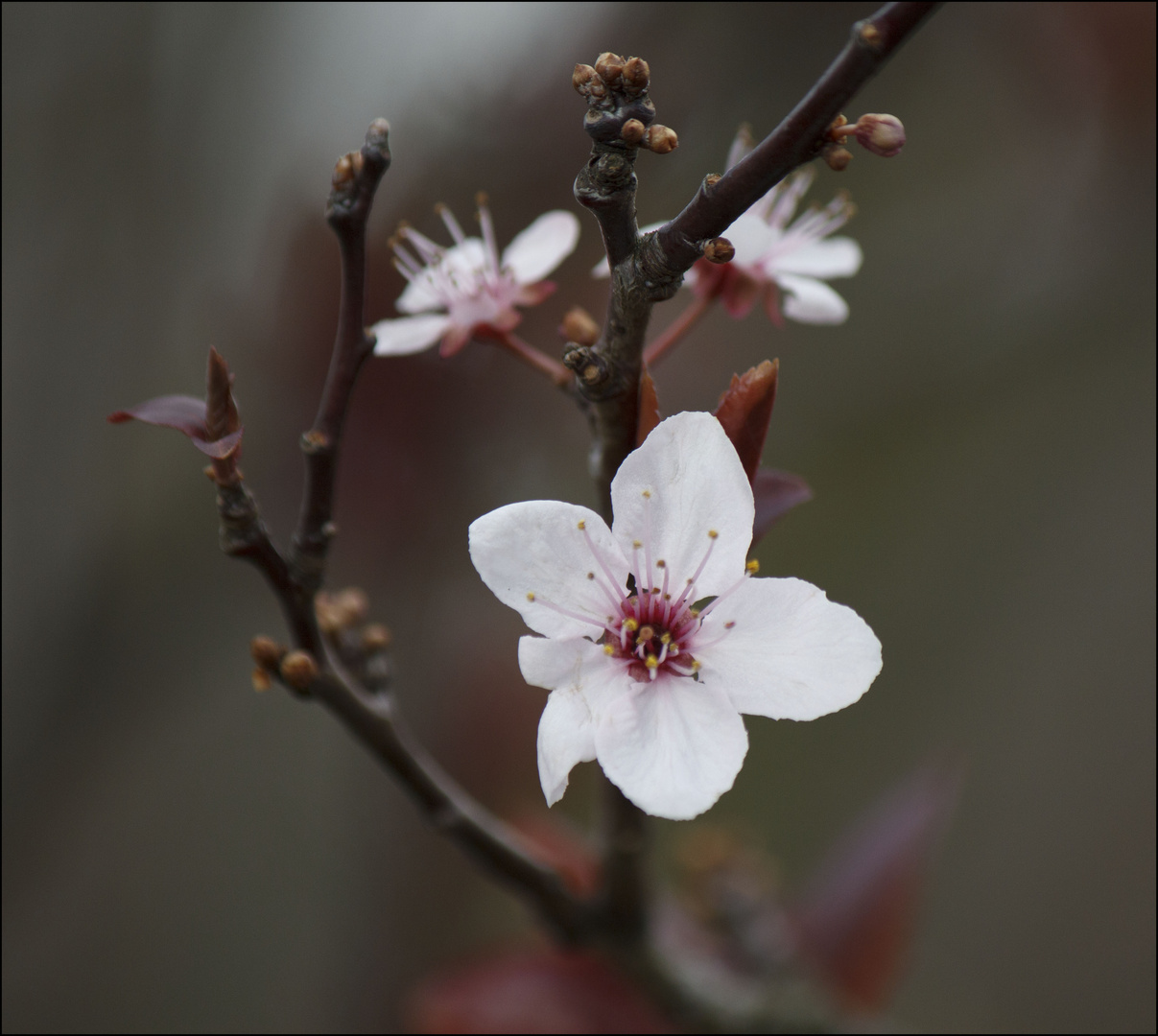 Wildkirchblüte