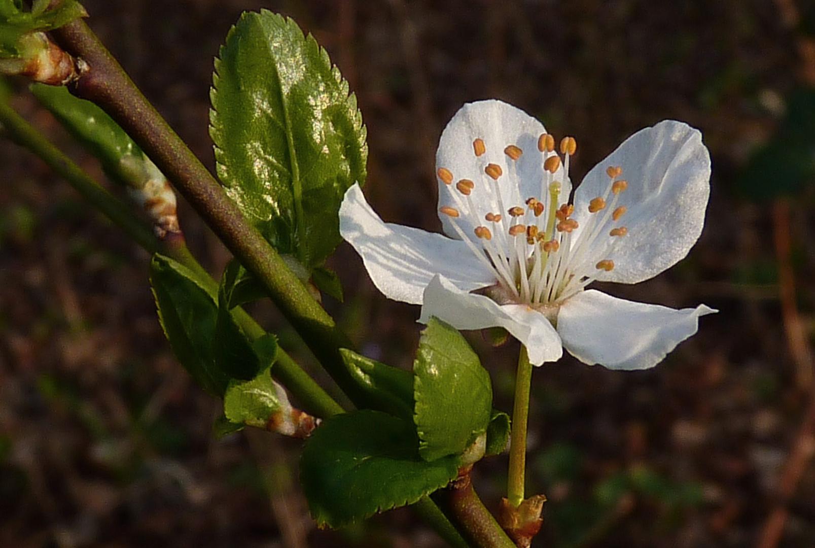 Wildkirsch-Blüte Solitär