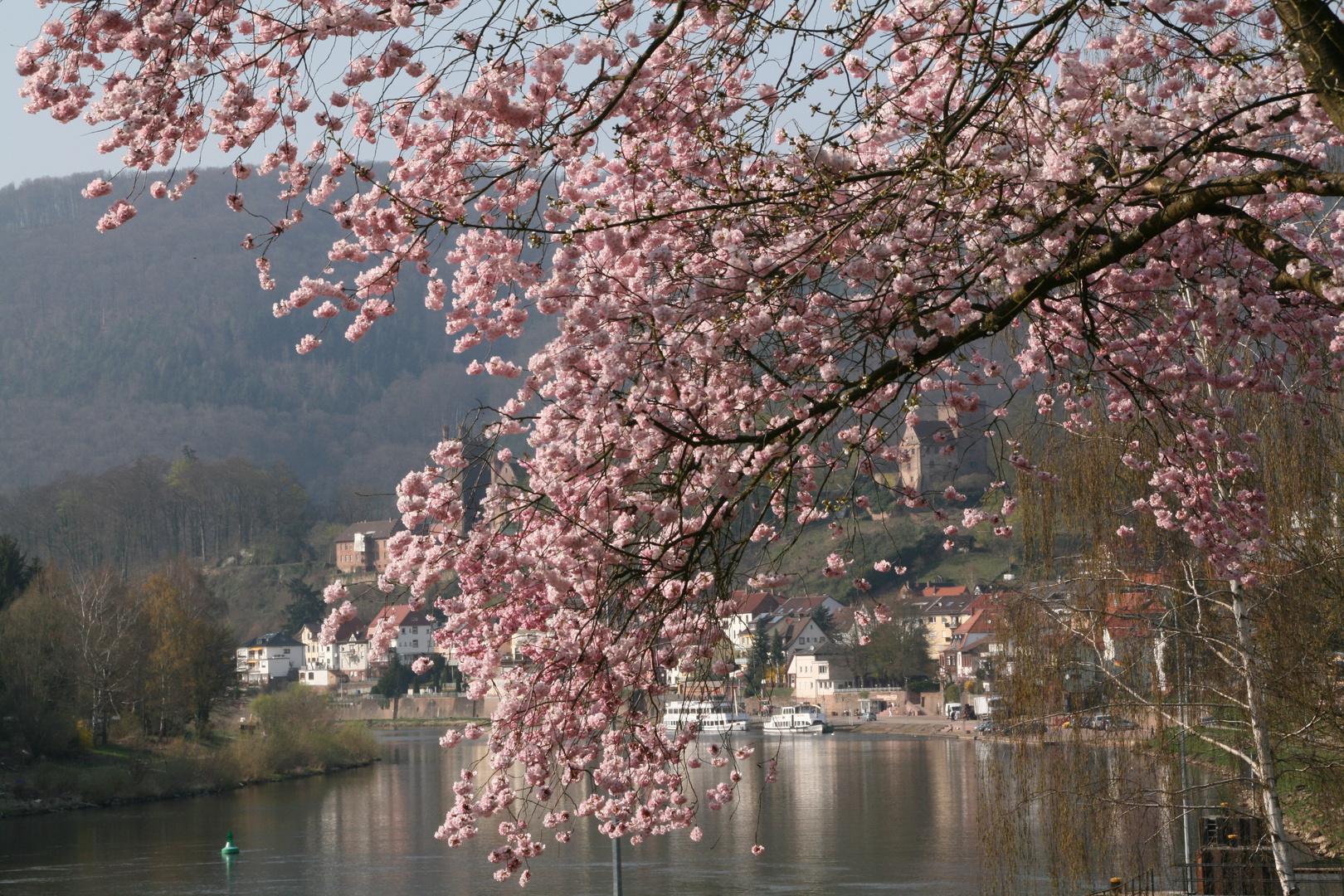 Wildkirsch-Blüten -Baum