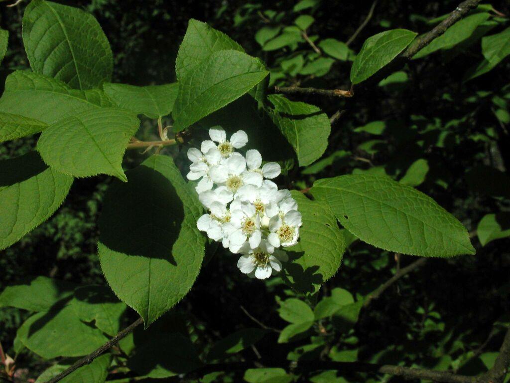 Wildkirschblüte mit Camedia 3000