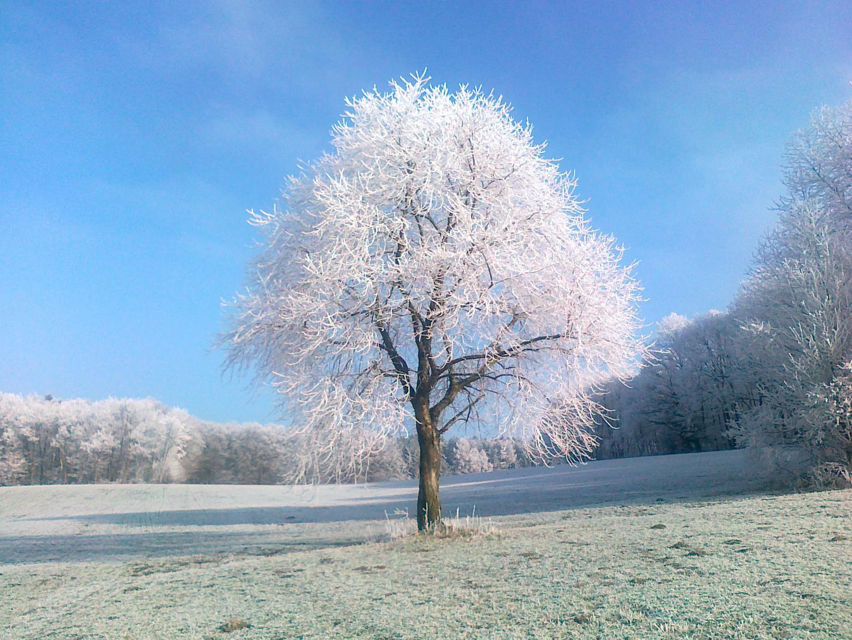 Wildkirsche im Winter