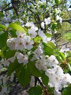 Wildkirsche (Prunus avium)