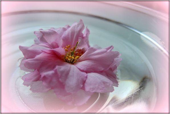 Wildkirschenblüte mal solo.....