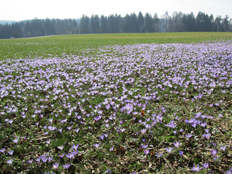 Wildkrokusblüte um Zavelstein im Nordschwarzwald ( März 2011 )
