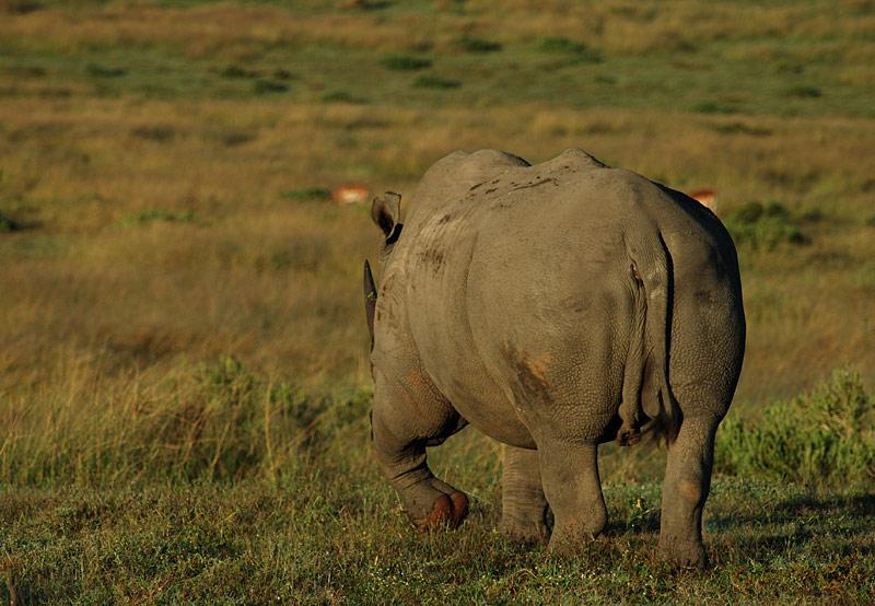 Wildlife #2 - Rhino (geht)