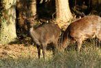 Wildlife Rehe(Sikawild)