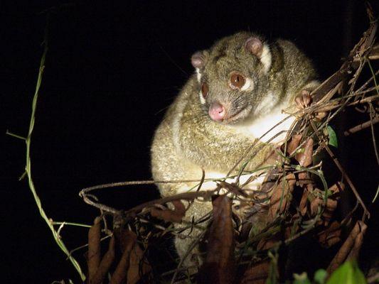 Wildlive Possum