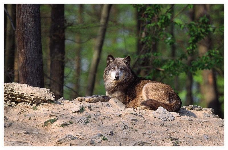 Wildpark Bad Mergentheim - Wolf