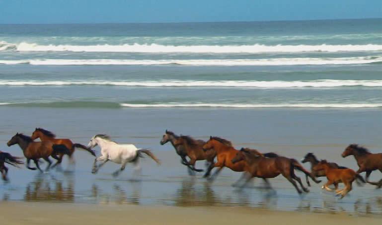 Wildpferde am Strand