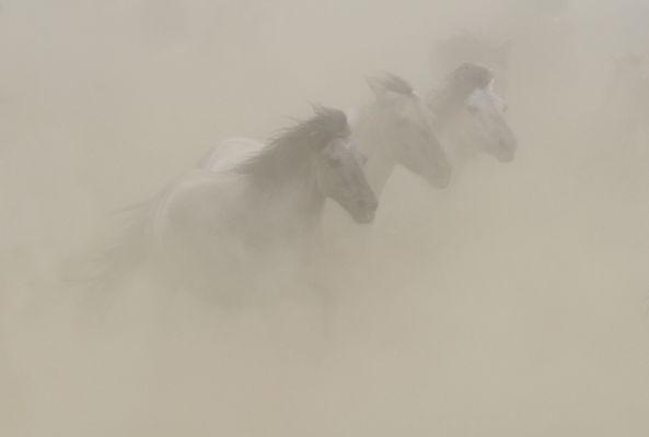 Wildpferde im Dülmer Bruch