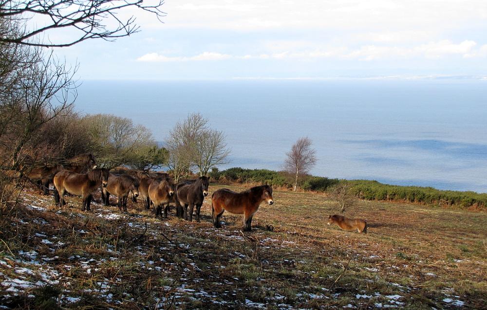 Wildpferde im Exmoor