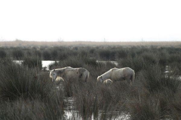 Wildpferde im Reservat Albufera 2