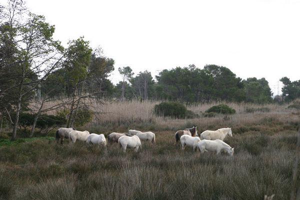 Wildpferde im Reservat Albufera